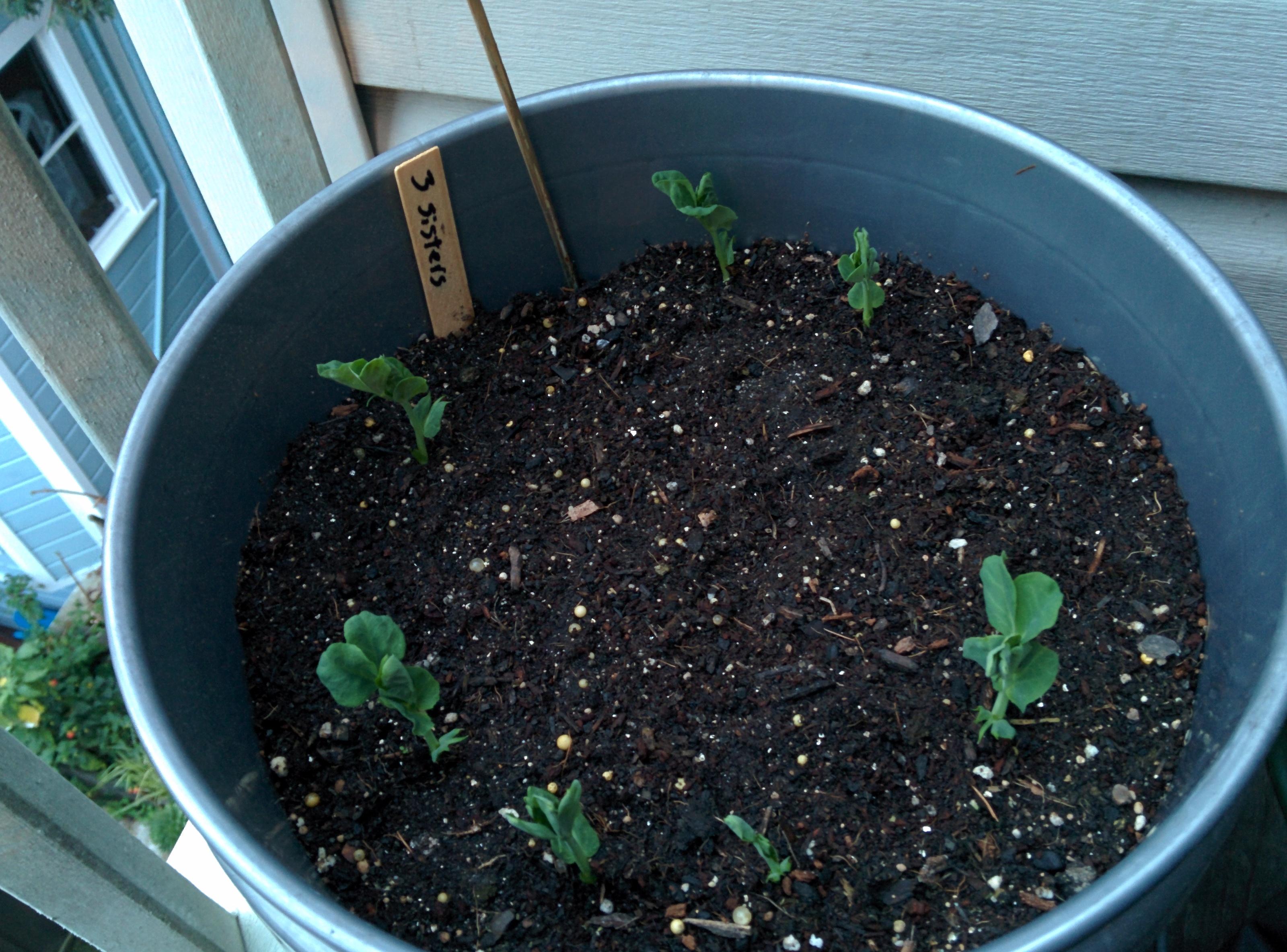 3 Sisters (peas, squash corn)