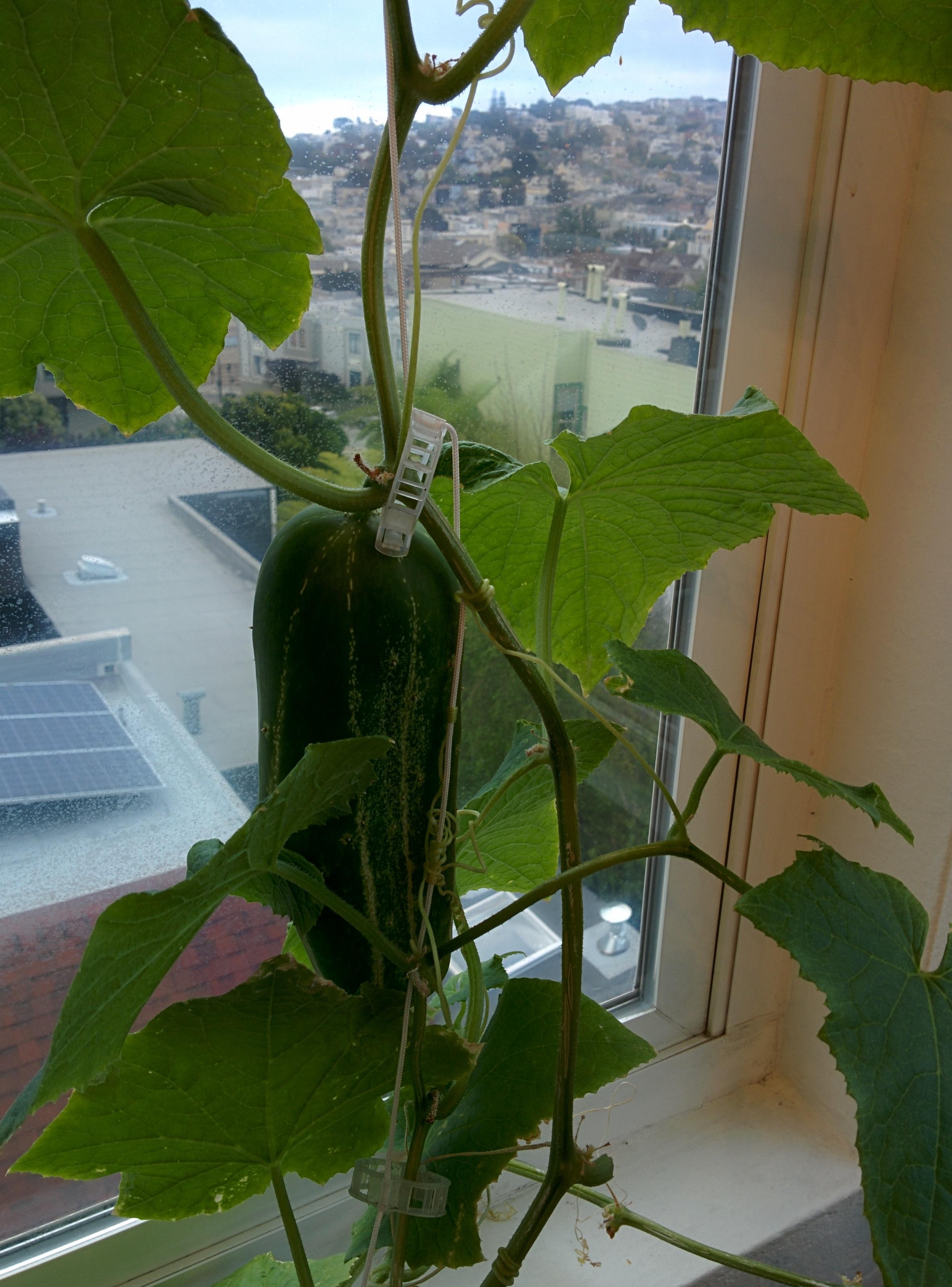 Bush Spacemaster Cucumber