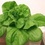 Harmony MTO Lettuce