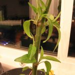 Maturing second growth on Serrano pepper plant