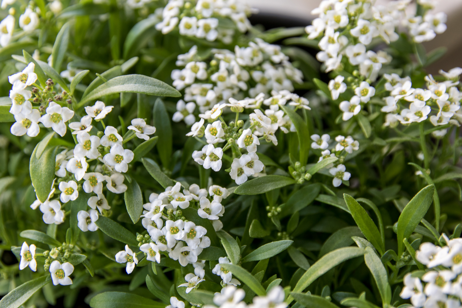 Sweet Alyssum at 50 days